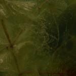 """rośliny glinianka """"nurki"""" w Zielonce"""